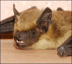 bat removal Richardson