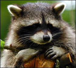 raccoon removal Richardson