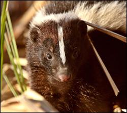 skunk removal Richardson